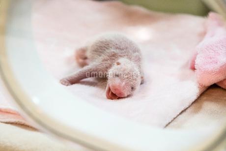 保育器の中のパンダの赤ちゃんの写真素材 [FYI02644142]