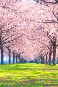 八重桜の桜並木の写真素材 [FYI02644199]