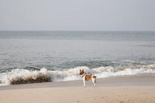 波打ち際に立つ犬の写真素材 [FYI02644381]
