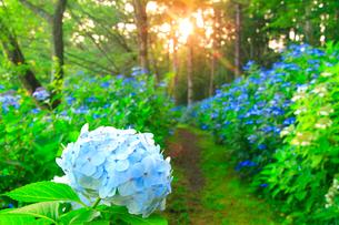アジサイと朝日の木もれ日と遊歩道の写真素材 [FYI02644646]