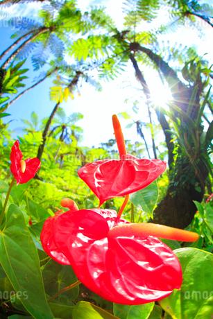 ヒカゲヘゴの亜熱帯林に咲くオオベニウチワの花と木もれ日の写真素材 [FYI02644676]