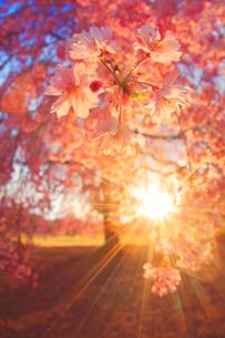 ベニヤエシダレのアップと朝日の木もれ日の写真素材 [FYI02644703]