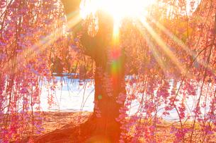 ベニヤエシダレと朝日の木もれ日と雪の写真素材 [FYI02644753]