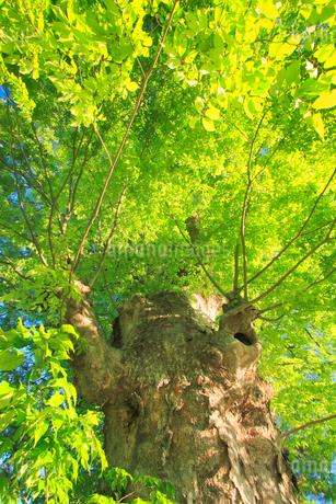 新緑のケヤキの巨木の写真素材 [FYI02644755]