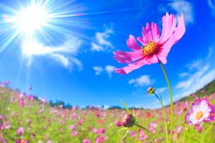 コスモスのアップとコスモス畑と太陽の光芒の写真素材 [FYI02644810]