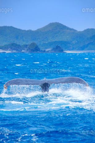 ザトウクジラのプルークアップダイブと座間味島の写真素材 [FYI02644848]
