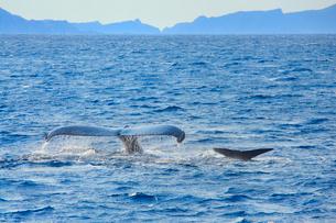 ザトウクジラの親子のプルークアップダイブの写真素材 [FYI02644873]