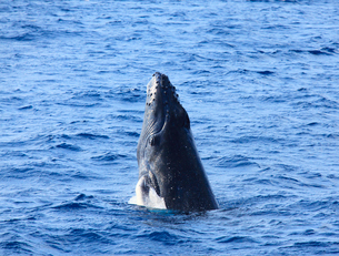 ザトウクジラのスパイホップの写真素材 [FYI02644935]