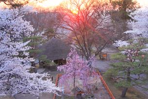 コモロヤエベニシダレとソメイヨシノと夕日の木もれ日の写真素材 [FYI02644939]