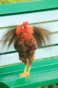 ベンチで羽ばたく地鶏の写真素材 [FYI02644968]