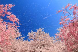 ソメイヨシノの桜吹雪の写真素材 [FYI02644981]