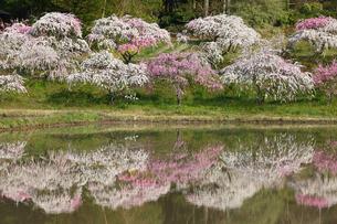 奥三河 設楽町 名倉のしだれ桜の写真素材 [FYI02645075]
