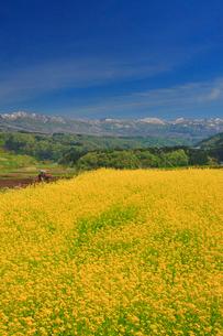 菜の花畑と鍋倉山とトラクターの写真素材 [FYI02645174]