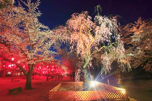コモロヤエベニシダレのライトアップの写真素材 [FYI02645184]