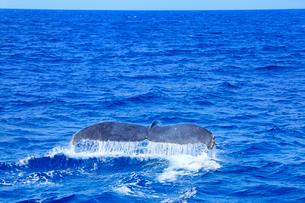 ザトウクジラのプルークアップダイブの写真素材 [FYI02645241]