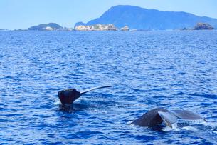 ザトウクジラのペアのプルークアップダイブと久場島の写真素材 [FYI02645249]