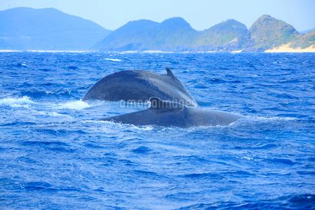 ザトウクジラのペアと安室島の写真素材 [FYI02645269]