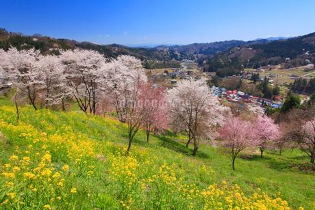 ソメイヨシノなどの桜と菜の花と浅間山方向の山並みの写真素材 [FYI02645321]