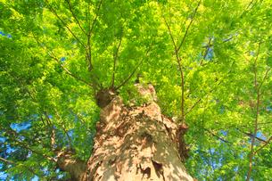 新緑のケヤキの巨木の写真素材 [FYI02645379]