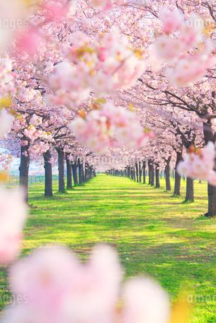 八重桜の桜並木の写真素材 [FYI02645398]