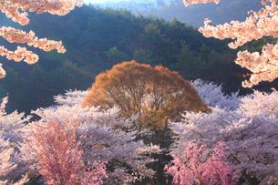 ソメイヨシノなどの桜と芽吹くケヤキの写真素材 [FYI02645593]