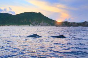 ザトウクジラのペアと夕日の写真素材 [FYI02645645]