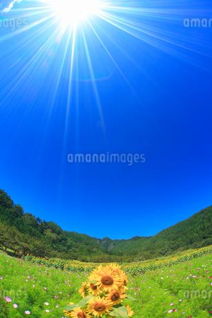 ヒマワリとコスモスの花畑と独鈷山,魚眼レンズの写真素材 [FYI02645683]