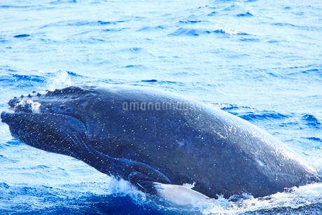 ザトウクジラのブリーチの写真素材 [FYI02645766]