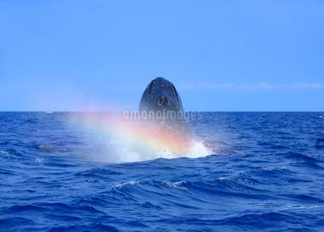 ザトウクジラのヘッドスラップと虹の写真素材 [FYI02645777]