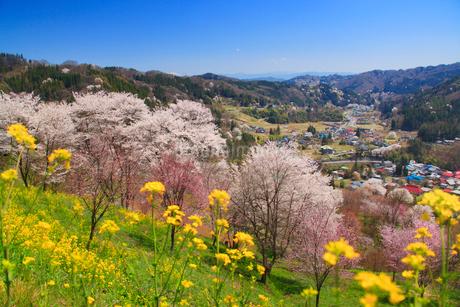 ソメイヨシノなどの桜と菜の花と浅間山方向の山並みの写真素材 [FYI02645840]