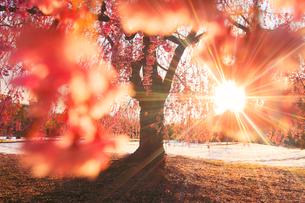 ベニヤエシダレと朝日の木もれ日と雪の写真素材 [FYI02645884]