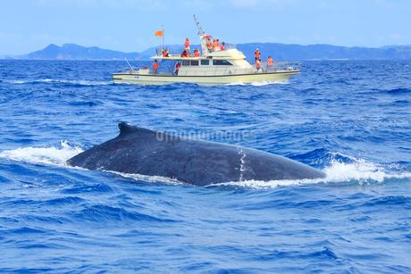 ザトウクジラとホエールウォッチング船の写真素材 [FYI02646097]