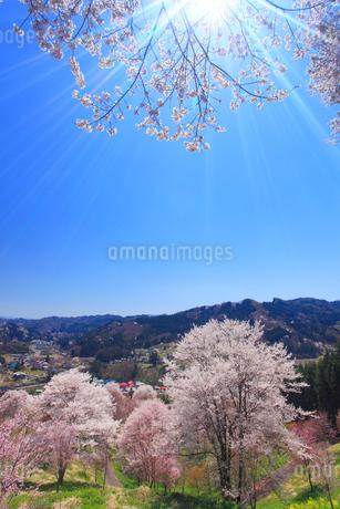 ソメイヨシノなどの桜と木もれ日の光芒の写真素材 [FYI02646133]