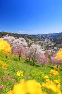 ソメイヨシノなどの桜と菜の花と浅間山方向の山並みの写真素材 [FYI02646286]
