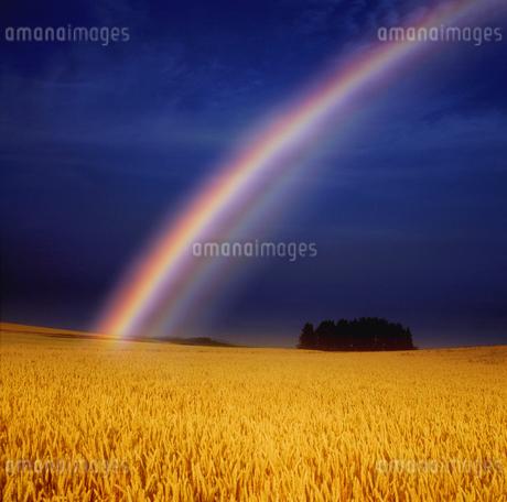 小麦畑と木立と虹 ホクシンの写真素材 [FYI02646701]