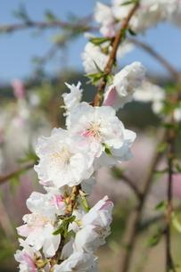 奥三河 設楽町 名倉のしだれ桜の写真素材 [FYI02646804]