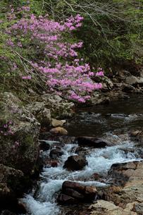 奥三河 設楽町 栗島川のツツジの写真素材 [FYI02646838]