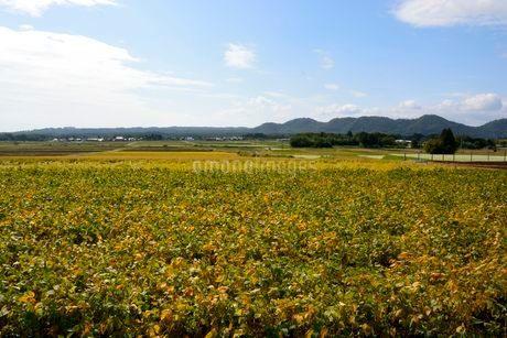箱館山 山麓のアズキ栽培の写真素材 [FYI02647198]