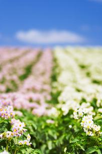 ジャガイモの花畑 男爵と農林一号の写真素材 [FYI02647628]