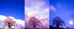 昼と夕と夜の塩ノ崎の大桜の写真素材 [FYI02647751]