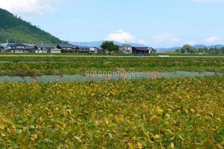 箱館山 山麓のアズキ栽培の写真素材 [FYI02647774]
