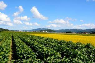 丹波コシヒカリと黒豆栽培の写真素材 [FYI02647849]