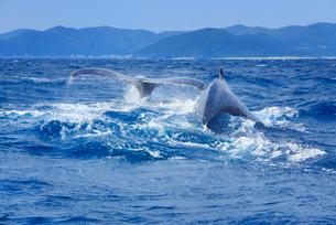 ザトウクジラのペアのプルークアップダイブと座間味港遠望の写真素材 [FYI02647898]
