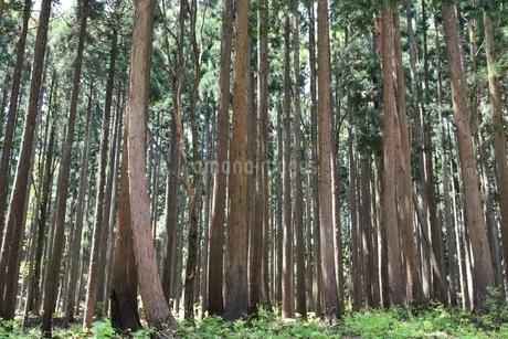 別宮 杉木立の写真素材 [FYI02648071]