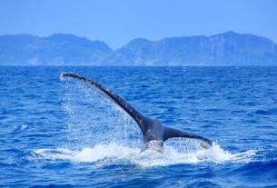 ザトウクジラのプルークアップダイブと渡名喜島の写真素材 [FYI02648276]