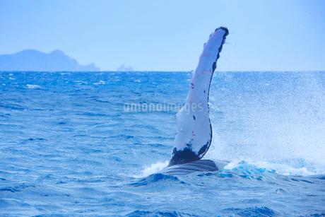 ザトウクジラのペックスラップと阿波連岬の写真素材 [FYI02648287]