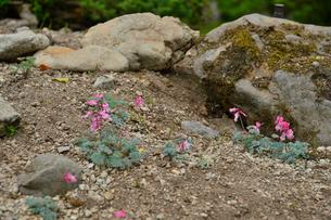 上三依水生植物園に咲くコマクサの写真素材 [FYI02648336]