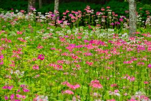 上三依水生植物園に咲くクリンソウの写真素材 [FYI02648405]