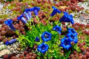 六甲高山植物園 ゲンチアナ アユーリスの写真素材 [FYI02648464]