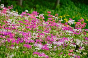 上三依水生植物園に咲くクリンソウの写真素材 [FYI02648517]